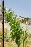 Branche de vigne sur le fond de ciel image libre de droits