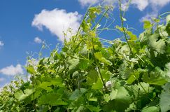 Branche de vigne sur le fond de ciel photos stock