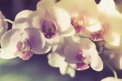 Branche de vintage de foyer sélectif d'orchidée blanche Photographie stock