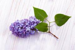 Branche de vue supérieure lilas de fleurs images stock
