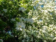 Branche de vue ?troite blanche de floraison de pommier image libre de droits