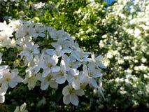 Branche de vue ?troite blanche de floraison de pommier images stock