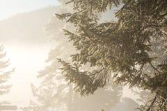 Branche del árbol de abeto cubierto con el foco selectivo de la escarcha imagen de archivo