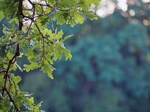 Branche della quercia su un fondo verde sfocato fotografia stock