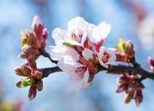 Branche des amandes de floraison dans la perspective du ciel bleu printemps Le ressort fleurit le fond de fleur photo libre de droits