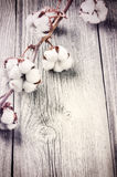 Branche des capsules mûres de coton Image stock