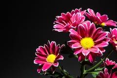 Branche des chrysanthèmes rouges sur un fond noir, l'espace pour le texte photo libre de droits