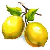 Branche des citrons avec des feuilles d'isolement photos stock