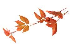 Branche des feuilles d'automne d'isolement sur un fond blanc Images stock