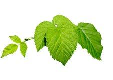 Branche des feuilles d'une framboise Photos stock
