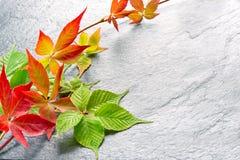 Branche des feuilles rouges de raisins d'automne Feuillage de quinquefolia de Parthenocissus Images stock