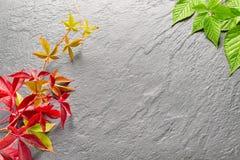 Branche des feuilles rouges de raisins d'automne Feuillage de quinquefolia de Parthenocissus Images libres de droits