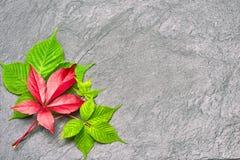 Branche des feuilles rouges de raisins d'automne Feuillage de quinquefolia de Parthenocissus Image stock