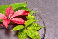 Branche des feuilles rouges de raisins d'automne Feuillage de quinquefolia de Parthenocissus Photos stock
