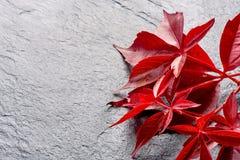 Branche des feuilles rouges de raisins d'automne Feuillage de quinquefolia de Parthenocissus D'isolement sur le fond blanc Images stock