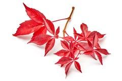 Branche des feuilles rouges de raisins d'automne Feuillage de quinquefolia de Parthenocissus D'isolement sur le fond blanc Images libres de droits