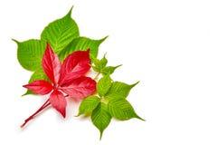 Branche des feuilles rouges de raisins d'automne Feuillage de quinquefolia de Parthenocissus D'isolement sur le fond blanc Image stock