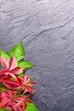 Branche des feuilles rouges de raisins d'automne Fond de pierre du feuillage o de quinquefolia de Parthenocissus Image stock