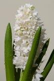 branche des fleurs blanches de jacinthe Images stock