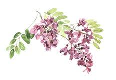 Branche des fleurs d'une illustration bleue d'aquarelle d'acacia Photographie stock libre de droits