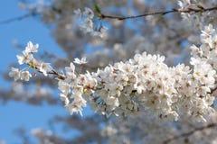 Branche des fleurs de cerisier blanches photo libre de droits