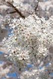 Branche des fleurs de cerisier blanches Photographie stock