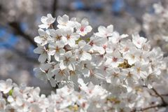 Branche des fleurs de cerisier blanches Photo stock