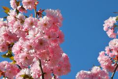 Branche des fleurs de cerisier roses contre le ciel bleu Jardin fleurissant Ressort Sakura en fleur image stock
