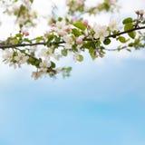 Branche des fleurs de pomme Images libres de droits