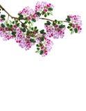 Branche des fleurs de prune Photo libre de droits