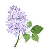 Branche des fleurs lilas. Illustration de vecteur. illustration libre de droits