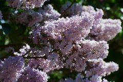 Branche des fleurs lilas violettes image stock