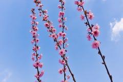 Branche des fleurs roses avec le ciel bleu ensoleillé Photo libre de droits