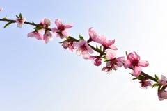 Branche des fleurs roses avec le ciel bleu ensoleillé Photographie stock