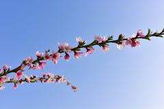 Branche des fleurs roses avec le ciel bleu ensoleillé Photographie stock libre de droits