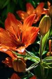 Branche des fleurs roses de magnolia Image libre de droits