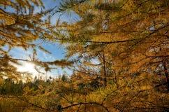 Branche des mélèzes d'automne Image libre de droits