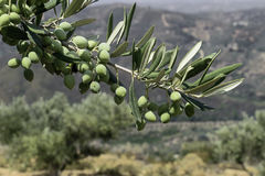 Branche des olives vertes sur le paysage de fond d'usines Image stock