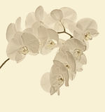Branche des orchidées blanches sur un fond blanc Image stock