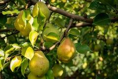 Branche des poires vertes Photos libres de droits