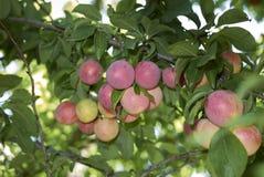 Branche des prunes de myrobalan photos stock