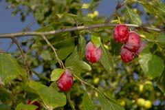Branche des prunes mûres Photos libres de droits