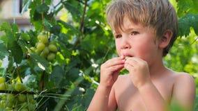 Branche des raisins accrochant dans le jardin Plan rapproché banque de vidéos
