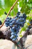 Branche des raisins de cuve, Cabernet Sauvignon au vignoble de la Californie Image libre de droits
