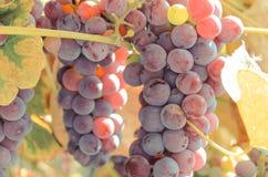 Branche des raisins mûrs pourpres, nutrition saine Photos stock
