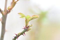 Branche des roses Photographie stock libre de droits
