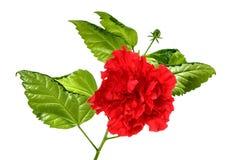 Branche des roses Photo libre de droits
