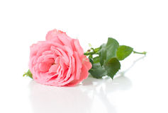 Branche des roses roses Photos libres de droits