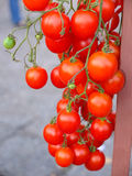 Branche des tomates-cerises fraîches accrochant sur des arbres Images stock