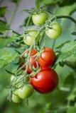 Branche des tomates en serre chaude Images stock
